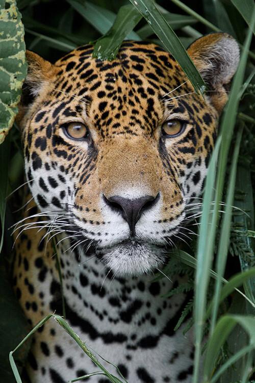 Amazon Jaguar - dieren op wanddecoratie