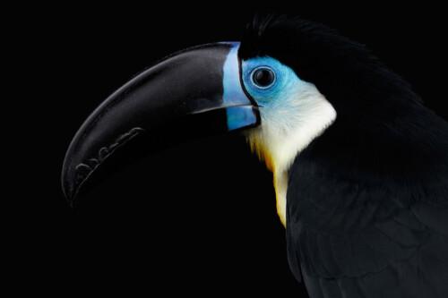Blue Toucan - dieren op wanddecoratie
