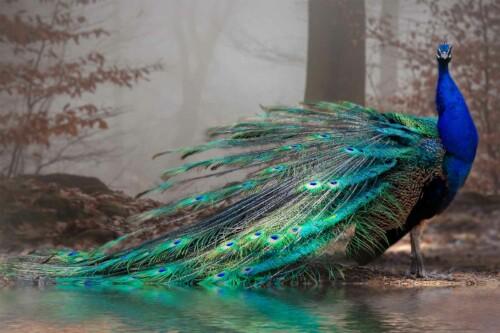 Elegance Peacock - dieren op wanddecoratie