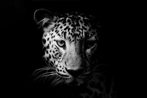 Leopard Portrait - dieren op wanddecoratie