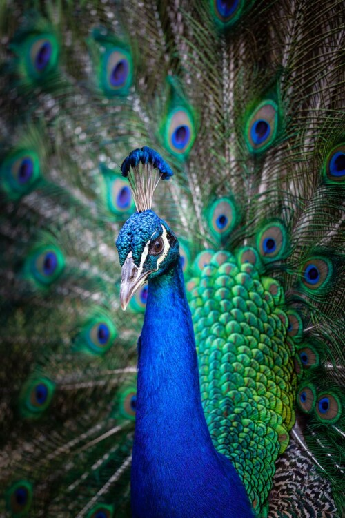 Peacock Portrait - dieren op wanddecoratie