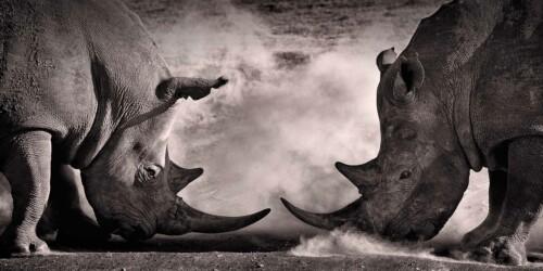 Rhino Battle - dieren op wanddecoratie