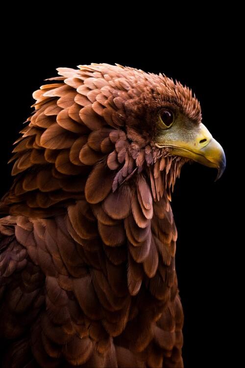 Bateleur Eagle - dieren op wanddecoratie