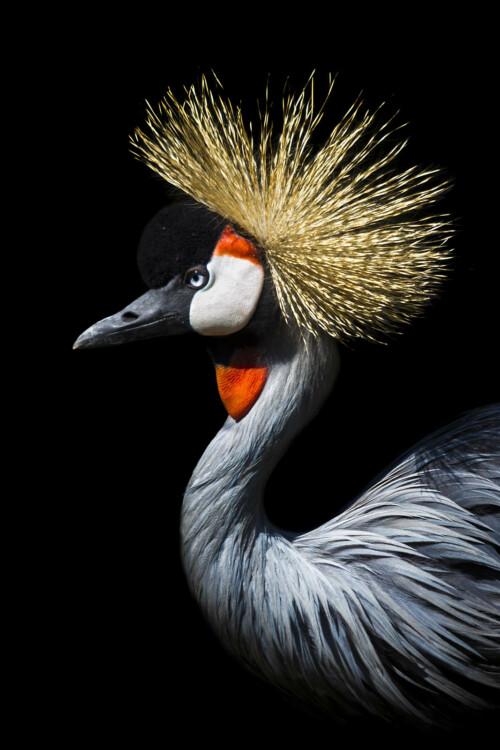 Crowned Crane - dieren op wanddecoratie