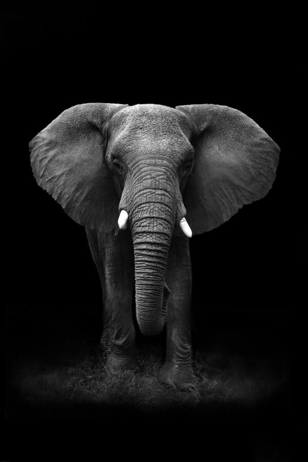 Elephant Portrait - dieren op wanddecoratie