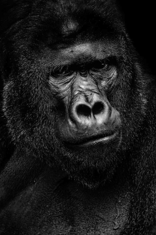 Gorilla portrait - dieren op wanddecoratie