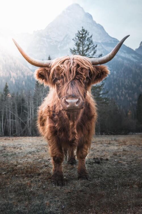 Highlander - Schotse Hooglander wanddecoratie