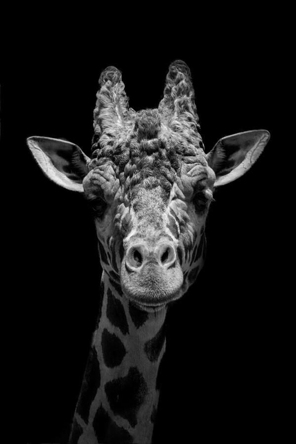 Starring Giraffe - dieren op wanddecoratie