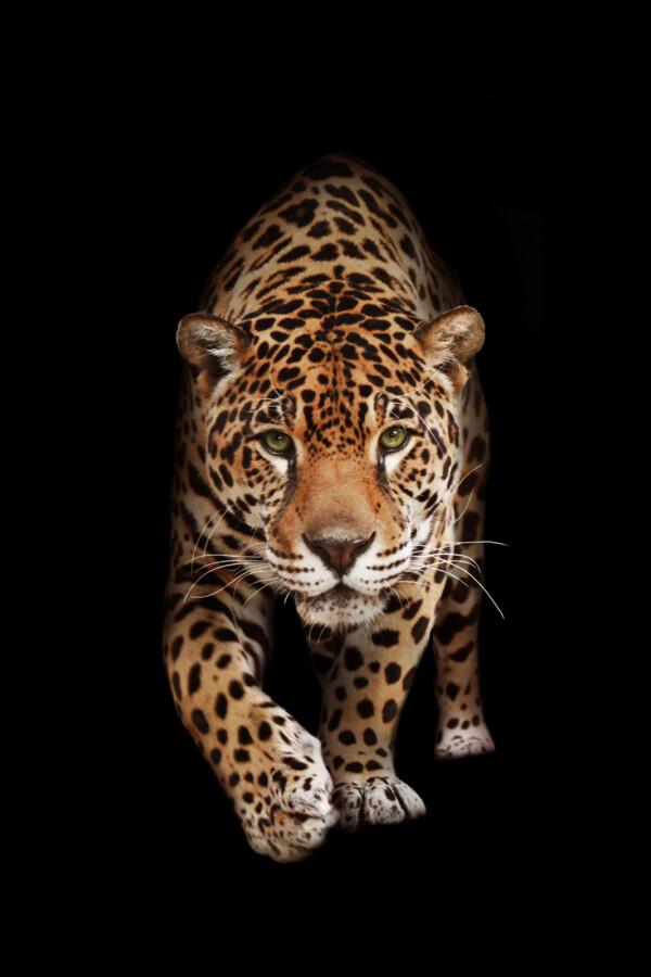 Wild Panther - dieren op wanddecoratie