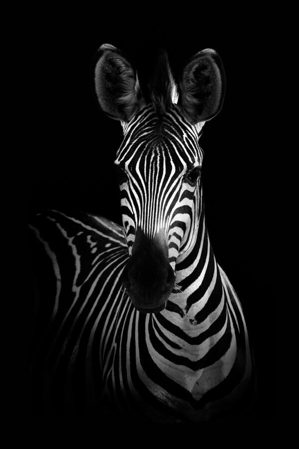 Zebra Portrait - dieren op wanddecoratie
