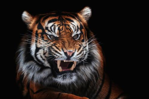 Roaring Tiger - dieren op muurdecoratie
