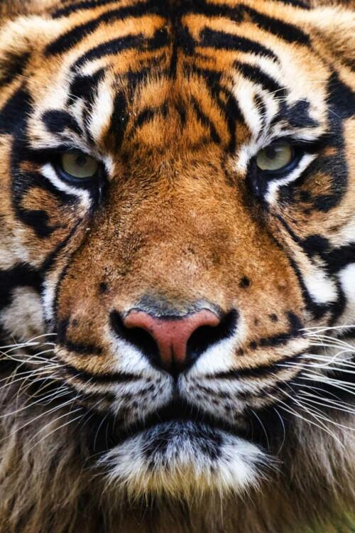 Tiger - dieren op wanddecoratie