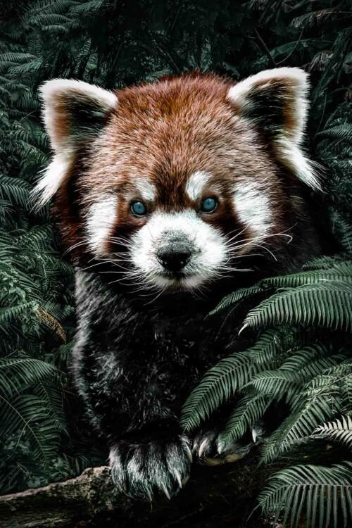 Red Panda voor aan de muur
