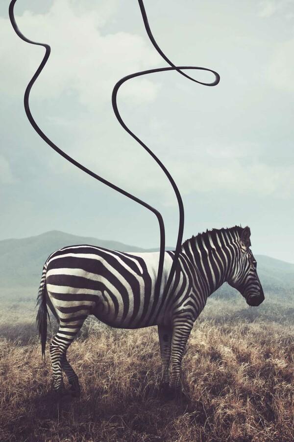 Unstriped Zebra voor aan de muur