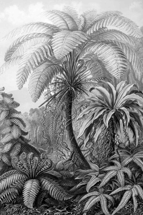 Wanddecoratie Filicinae zwart wit van Ernst Haeckel