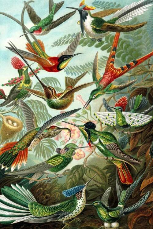 Wanddecoratie Kolibries van Ernst Haeckel