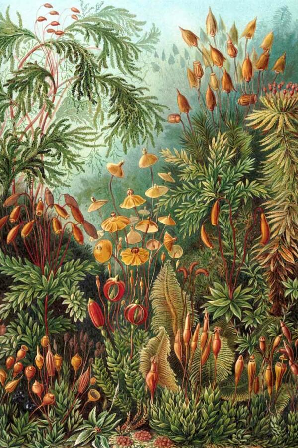 Wanddecoratie Muscinae van Ernst Haeckel