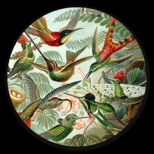 Muurcirkel Kolibries van Ernst Haeckel