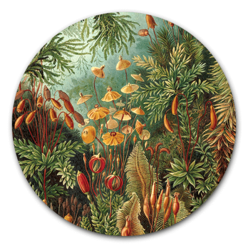 Muurcirkel Muscinae van Ernst Haeckel