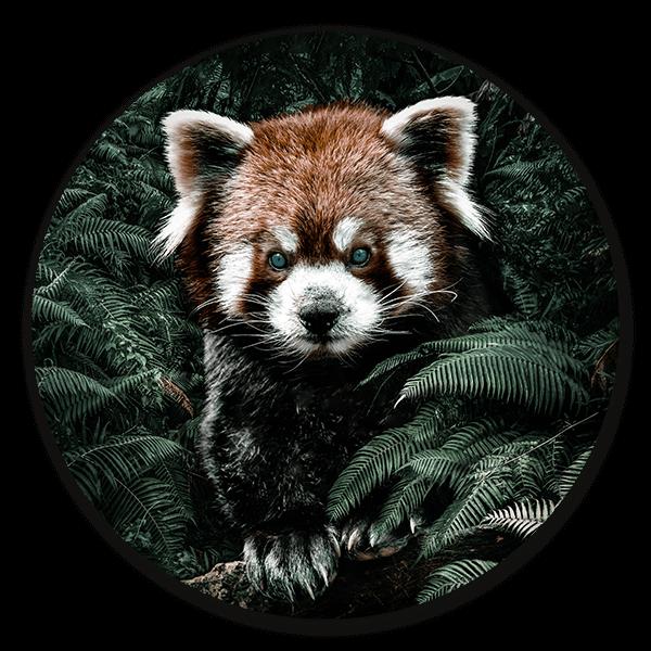 Muurcirkel Red panda - dieren op ronde wanddecoratie