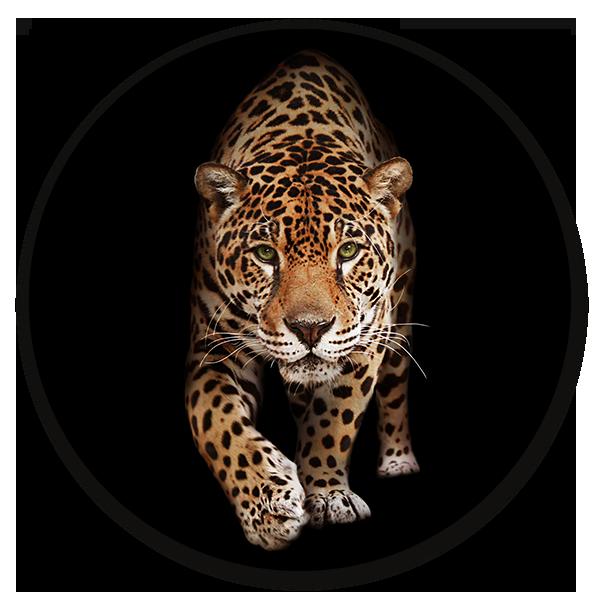 Muurcirkel Wild Panther - dieren op ronde wanddecoratie