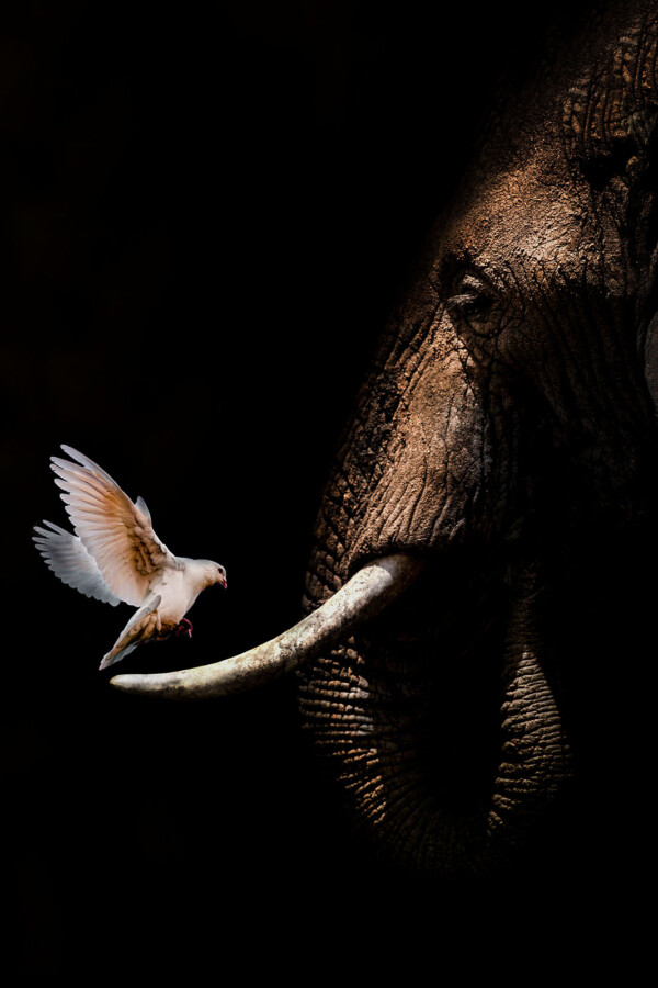 Elephant with Pigeon poster