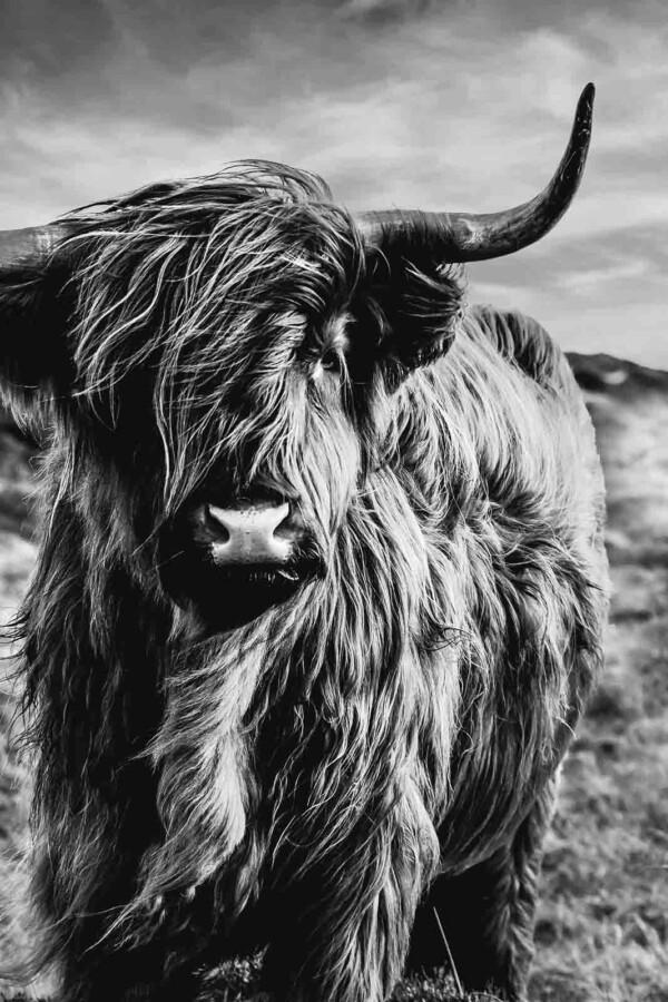 Schotse hooglander zwart wit