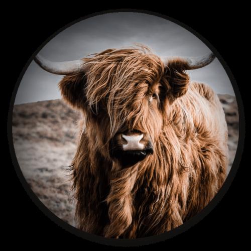 Muurcirkel Schotse hooglander kleur